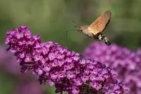 Kolibrievlinder – Macroglossum stellatarum – Hummingbird hawk moth(a5)