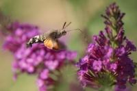 Kolibrievlinder – Macroglossum stellatarum – Hummingbird hawk moth(a6)