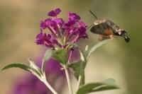 Kolibrievlinder – Macroglossum stellatarum – Hummingbird hawk moth(a8)