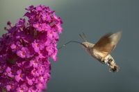 Kolibrievlinder – Macroglossum stellatarum – Hummingbird hawk moth(a9)