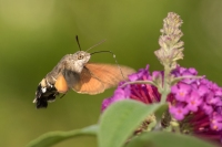 Kolibrievlinder – Macroglossum stellatarum – Hummingbird hawk moth(b1)