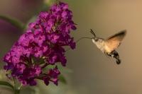 Kolibrivlinder – Macroglossum stellatarum – Hummingbird hawk moth(a7)