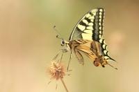 Koninginnepage – Papilio machaon – Swallowtail(a)