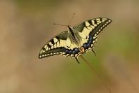 Koninginnepage – Papilio machaon – Swallowtail(a1)