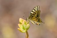 Koninginnepage – Papilio machaon – Swallowtail(a2)