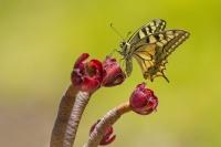 Koninginnepage – Papilio machaon – Swallowtail(b1)