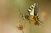 Koninginnepage – Papilio machaon – Swallowtail(b3)
