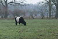 Lakenfelder koe