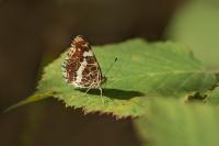 Landkaartje 3e generatie – Araschnia levana – MapButterfly(a)
