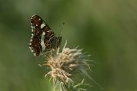 Landkaartje – Araschnia levana – MapButterfly(a)