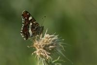 Landkaartje – Araschnia levana – Mapbutterfly(a2)