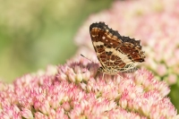Landkaartje dichte vorm – Araschnia levana – MapButterfly