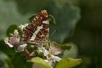 Landkaartje gesloten – Araschnia levana – Map Butterfly(a)