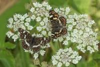 Landkaartjes – Araschnia levana – Map Butterfly(a)