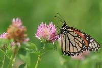 Monarchvlinder – Danaus plexippus – Monarch(a)