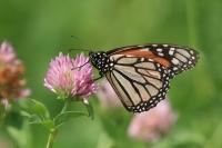 Monarchvlinder – Danaus plexippus – Monarch(a1)