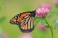 Monarchvlinder – Danaus plexippus – Monarch(a2)