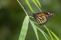 Monarchvlinder – Danaus plexippus – Monarch(a3)