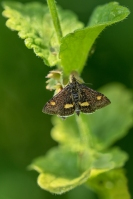 Muntvlinder – Pyrausta aurata – Small Purple and Gold(a)