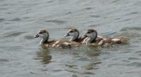 Nijlgans jonkies – Alopochen aegyptiacus – Egyptian Goose(a)