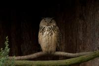 Oehoe – Bubo bubo – Eagle Owl(a)