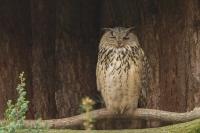 Oehoe – Bubo bubo – Eagle Owl(a1)