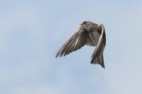 Oeverzwaluw in de vlucht – Riparia riparia – SandMartin(a)