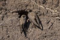 Oeverzwaluw paartje – Riparia riparia – Sand Martin(a1)