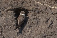Oeverzwaluw – Riparia riparia – Sand Martin(a)