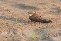 Oeverzwaluw rustend – Riparia riparia – Sand Martin(a4)