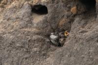 Oeverzwaluwen 5 jongen – Riparia riparia – SandMartin