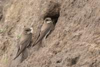 Oeverzwaluwen paartje – Riparia riparia – SandMartin