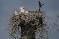 Ooievaar op natuurlijk nest – Ciconia ciconia – WhiteStork