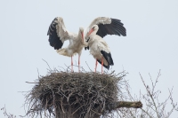 Ooievaar paartje op nest – Ciconia ciconia – White stork(a)