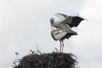 Ooievaar paring – Ciconia ciconia – Whitestork(a)
