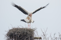 Ooievaar paringsritueel – Ciconia ciconia – White stork(a)