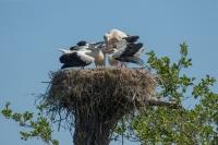Ooievaar voert 3 jongen – Ciconia ciconia – White Stork(a1)