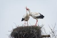 Ooievaars begroetingsritueel – Ciconia ciconia – White stork(a)