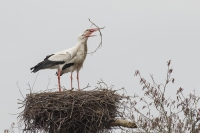 Ooievaars brengen nest in orde – Ciconia ciconia – WhiteStork(a)
