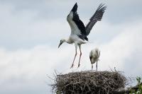 Ooievaars jong met vliegoefening – Ciconia ciconia – White Stork(b)