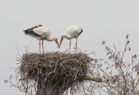 Ooievaars nest op orde brengen – Ciconia ciconia – White Stork(a)