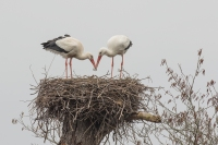 Ooievaars opschonen nest – Ciconia ciconia – White Stork(a)