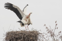 Ooievaars paring – Ciconia ciconia – White Stork(a)