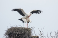 Ooievaars paringsritueel – Ciconia ciconia -White stork(a)