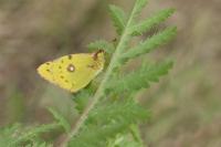 Oranje luzernevlinder – Colias croceus – Clouded Yellow(a)