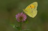 Oranje luzernevlinder – Colias croceus – Clouded Yellow(a3)