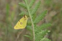 Oranje luzernevlinder – Colias croceus – Clouded Yellow(a4)