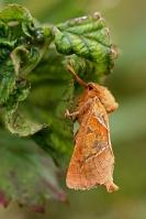 Oranje Wortelboorder – Triodia sylvina – Orange Swift-(a)