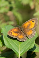 Oranje zandoogje op varenblad – Pyronia tithonus – Gatekeeper(a1)