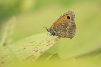 Oranje zandoogje op varenblad – Pyronia tithonus – Gatekeeper(a3)